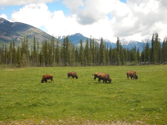 Rocky Mountain Buffalo Ranch & Guest Cottage Buffalo Tours: photo0.jpg