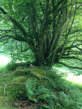St Blazey, UK: The Fairy Tree just below the Hobbit Hole