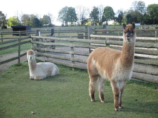 Our New Alpacas Picture Of Christmas Tree Farm Bromley Tripadvisor