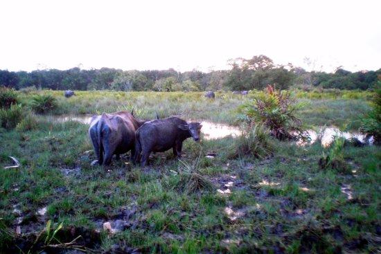 Tabin Wildlife Reserve: bufalos de agua,.. típicos de la zona