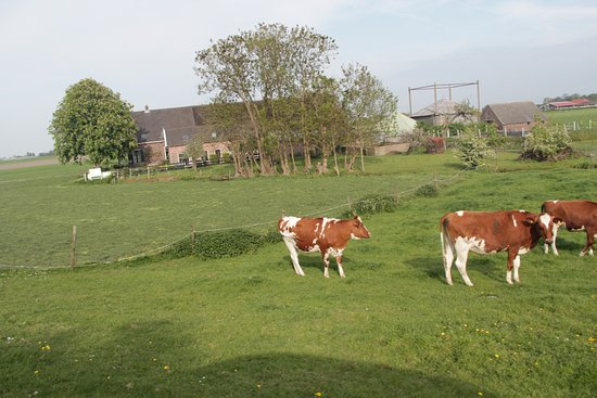 Nieuwveen, Nederland: Farm in background, cows, sheep, ducks all over