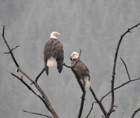 Balfour, Canadá: A pair of Bald Eagles who have been residents across the water from us for several years now.