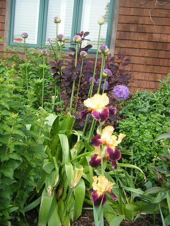 Skaneateles, NY: Another iris here at the gardens of The Pine Grove B&B.First year that it has bloomed.