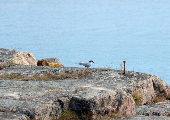 Tärna på en av klipporna på Kobba Klintar.