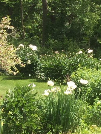 Preston, CT: Many many peony's in the cutting gardens...