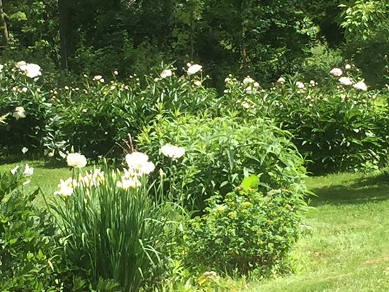 Preston, CT: Peony cutting bed, lots to share!
