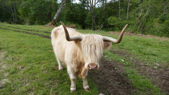 Braemore Square Country House: eins der vielen Highlandrinder