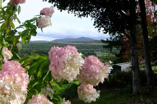 Marshfield, VT: Autumn hydrangea--just one of our many perennial bloomers.