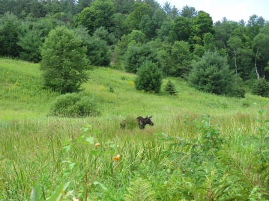 Marshfield, VT : A moose visiting our walking trail along the Winooski River.