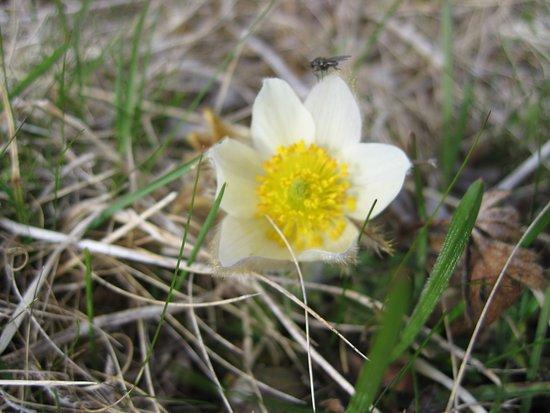 Vagamo, Νορβηγία: Mogop (Pulsatilla vernalis)