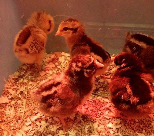 Lebanon, ME: Chicks!