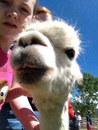Las Vegas, NM: Feeding the alpacas!