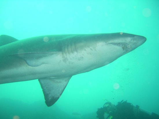 Swansea, Avustralya: Grey Nurse Shark dive at one of our local site