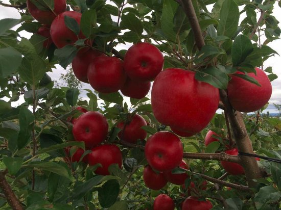 Malagash, Canadá: Honeycrisp.... ripe and ready to pick!!