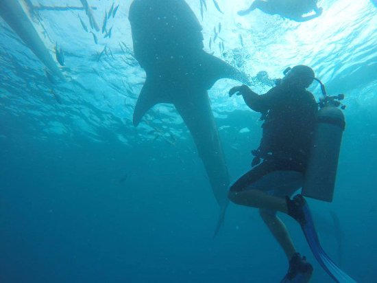 Lapu Lapu, Philippines: Sidive arranges trips to dive or Snorkel with the Whalesharks in Oslob