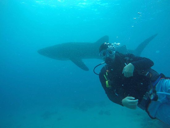 Sidive diver with Whaleshark