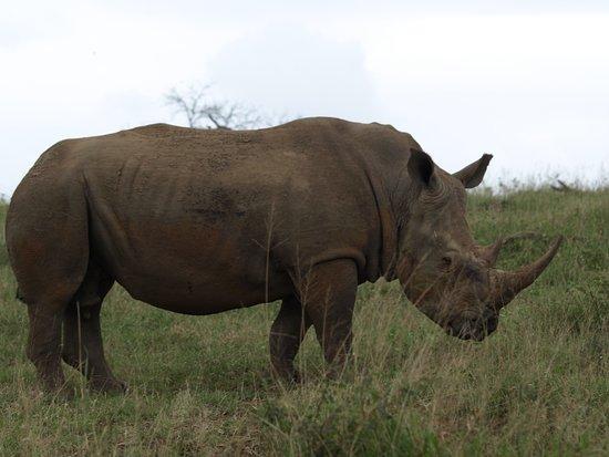 St Lucia, Afrika Selatan: Rhino