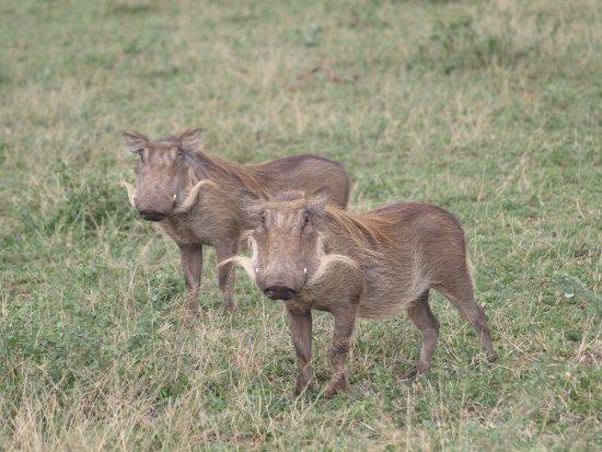 St Lucia, Afrika Selatan: Warthogs