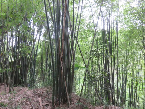Qionglai, China: Bamboo forest again