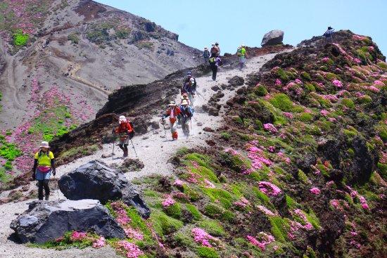 Kirishima, Japan: ミヤマキリシマ咲く登山道