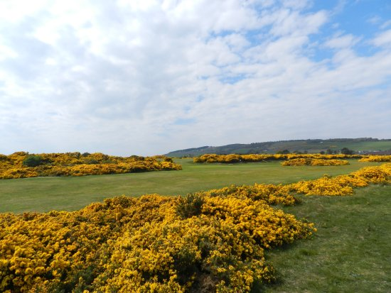 Rosemarkie, UK: Gorse in bloom