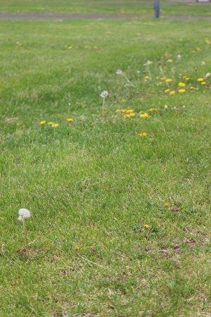 Otofuke-cho, Japón: 隱藏在青草中的蒲公英