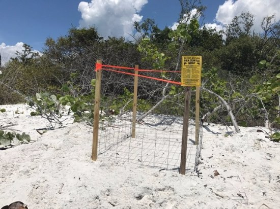 North Naples, FL: Be carefull of our sea Turtle nests during Turtle Season from May 1 to October 31st