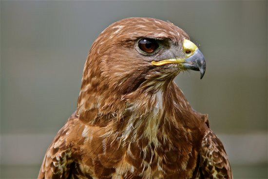 common buzzard at stockley farm birds of prey centre picture of