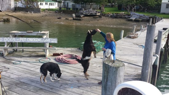 Havelock, Nouvelle-Zélande : The goat and dog get their biscuits every day when the Mail boat arrives