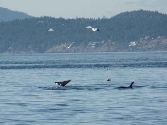 Port Townsend, WA: transient orcas