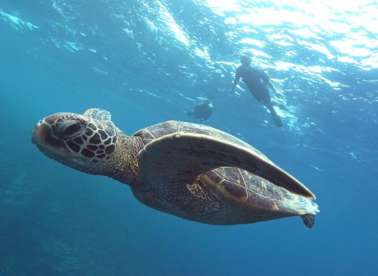 Piti, Mariana Islands: Green Sea Turtle & Snorkeler