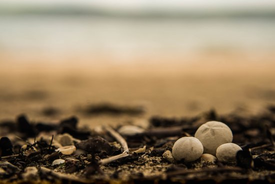 Gulf of Papagayo, Costa Rica: little shells that remind me of tiny puffed out sand dollars! Photo credit: flickr.com/yodalayle