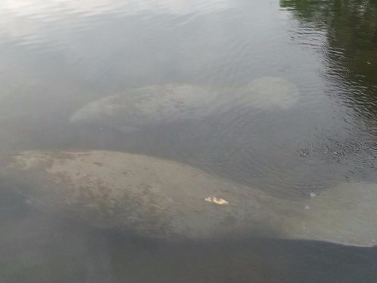 King's Bay Lodge: Manatee right off the dock