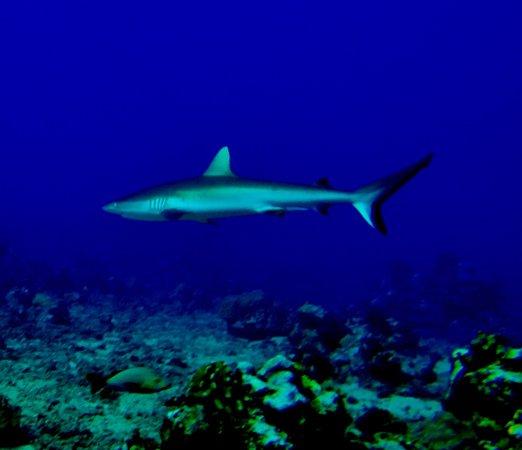 TOPDIVE Tahiti : Reef Shark