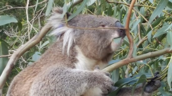 Cowes, Australien: observe Koalas up close..