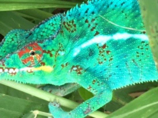 L'Etang-Sale, Reunion: l'endormi en train de faire le beau la femelle n'est pas loin
