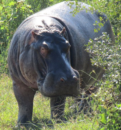 George, South Africa: Kruger hippo