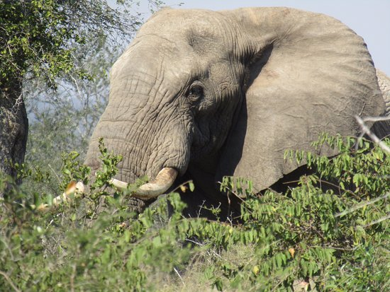George, South Africa: Bull elephant
