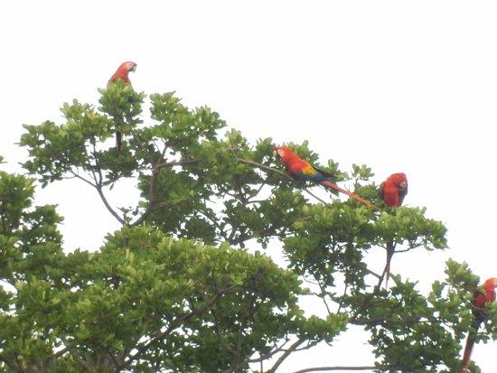 Ojochal, Costa Rica: Scarlet macaws in a nearby tree