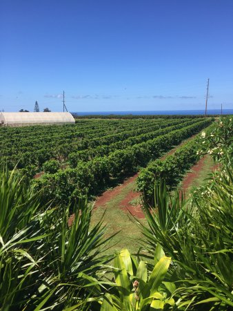 Kalaheo, Hawái: Kauai Coffee Company has over 4 million trees on their coffee estate