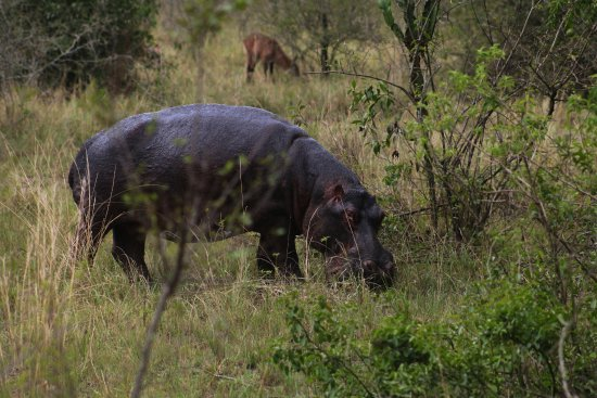 Kasese, Uganda: hipo in Queen Elizabeth National Park