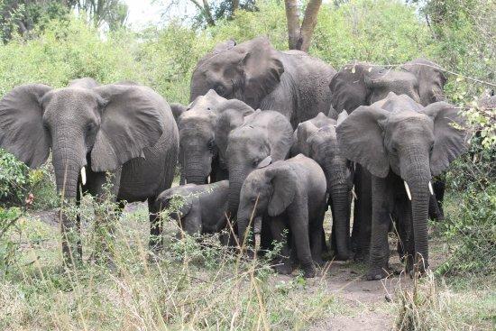 Kasese, أوغندا: Elepahants in Queen Elizabeth National Park