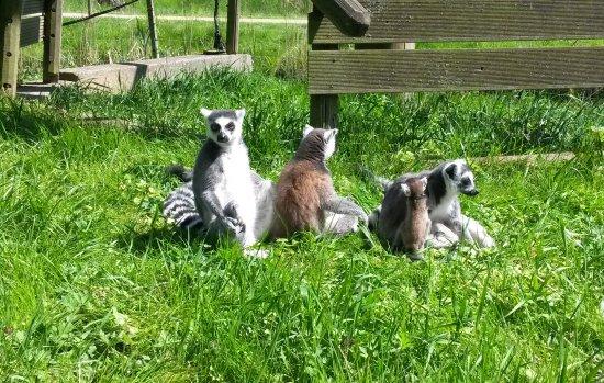 Tierpark Wismar: Kattas beim Sonnenbad