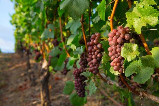 Sherwood, OR: Estate Pinot Gris