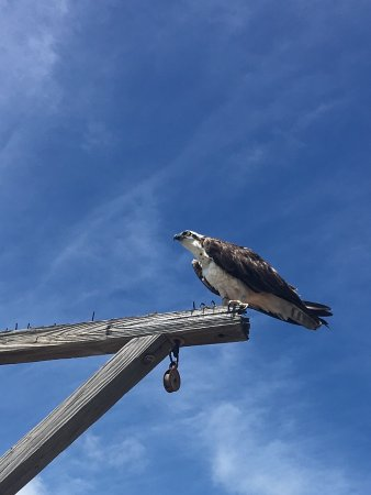 Redington Shores, Floryda: Osprey looking for an easy meal whilst watching the fisherman on Redington Pier