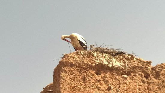 Maison Arabo Andalouse: Le cicogne sulle antiche mura di fronte alla terrazza del riad