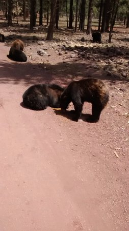 Williams, AZ: Young bears grabbing a afternoon snack.