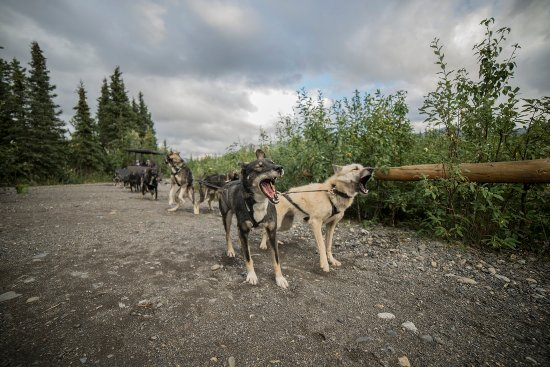 Cantwell, AK: Wildthingz Dog Mushing