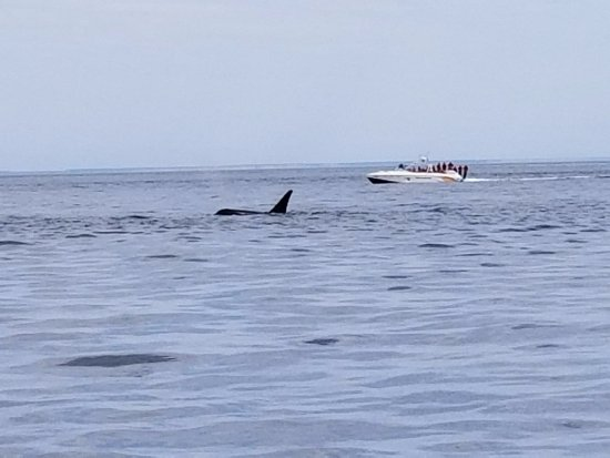 Port Townsend, WA: Orca sighting...