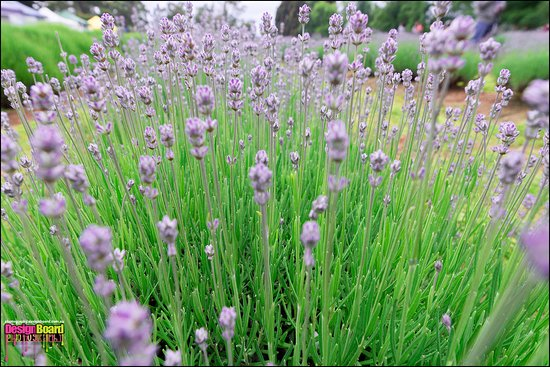 Warratina Lavender Farm: Lavender farm